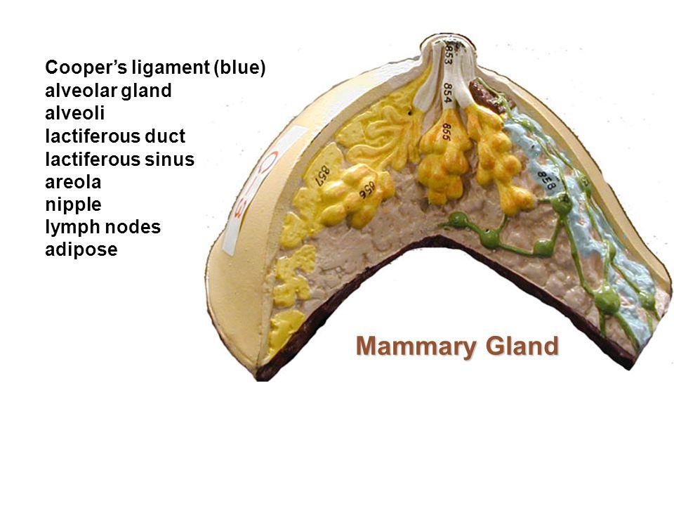 Mammary Gland Cooper's ligament (blue) alveolar gland alveoli lactiferous duct lactiferous sinus areola nipple lymph nodes adipose