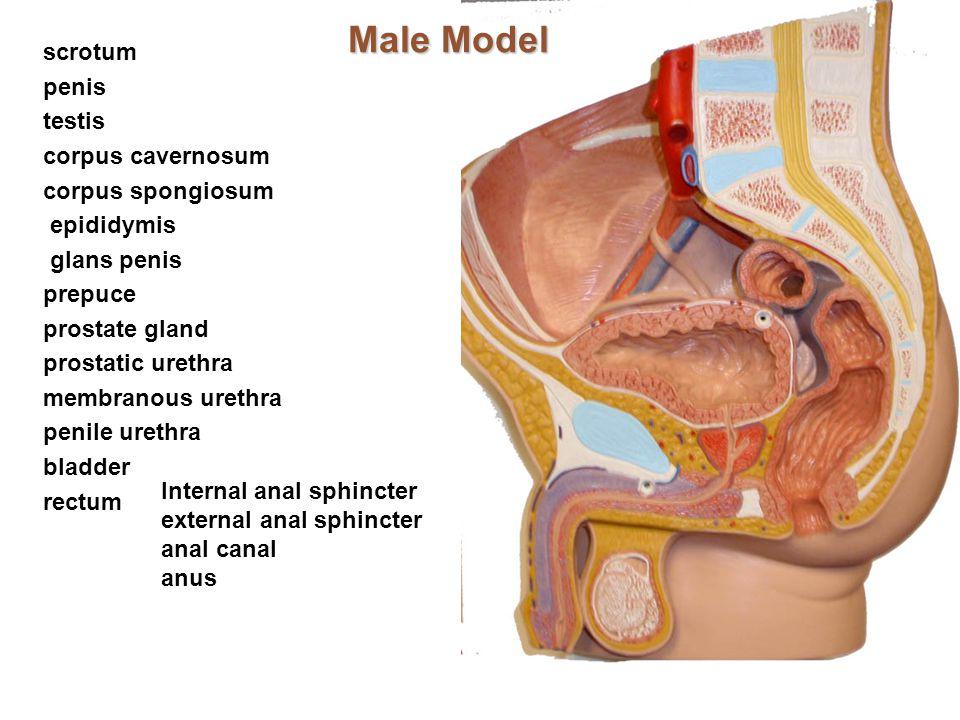Male Model scrotum penis testis corpus cavernosum corpus spongiosum epididymis glans penis prepuce prostate gland prostatic urethra membranous urethra