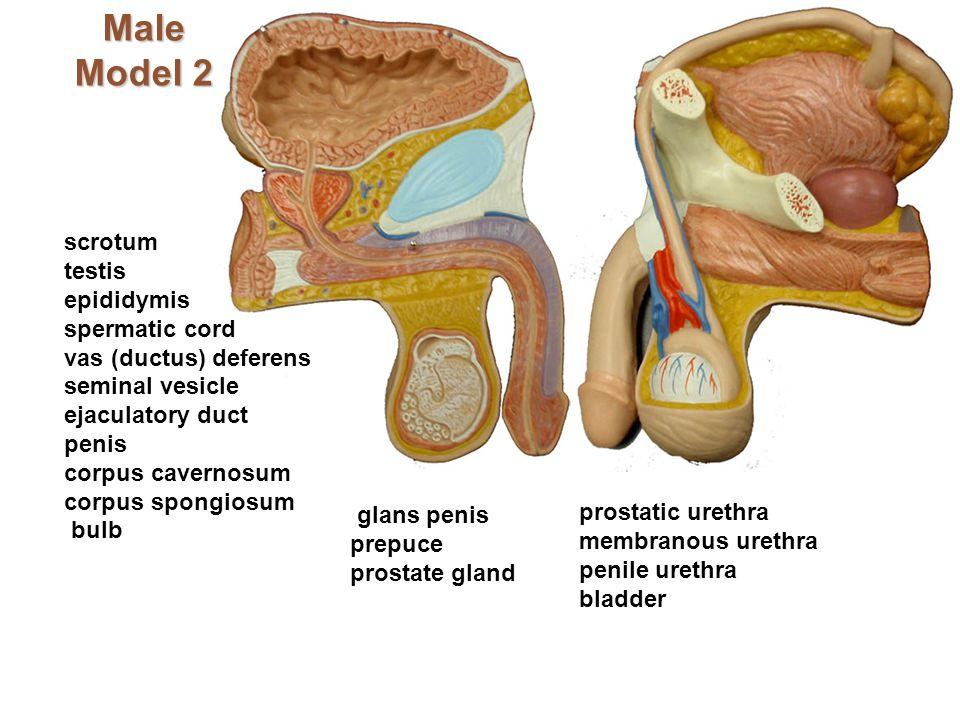 Male Model 2 scrotum testis epididymis spermatic cord vas (ductus) deferens seminal vesicle ejaculatory duct penis corpus cavernosum corpus spongiosum