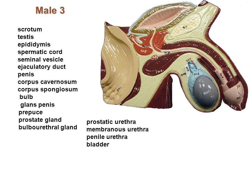 Male 3 scrotum testis epididymis spermatic cord seminal vesicle ejaculatory duct penis corpus cavernosum corpus spongiosum bulb glans penis prepuce pr