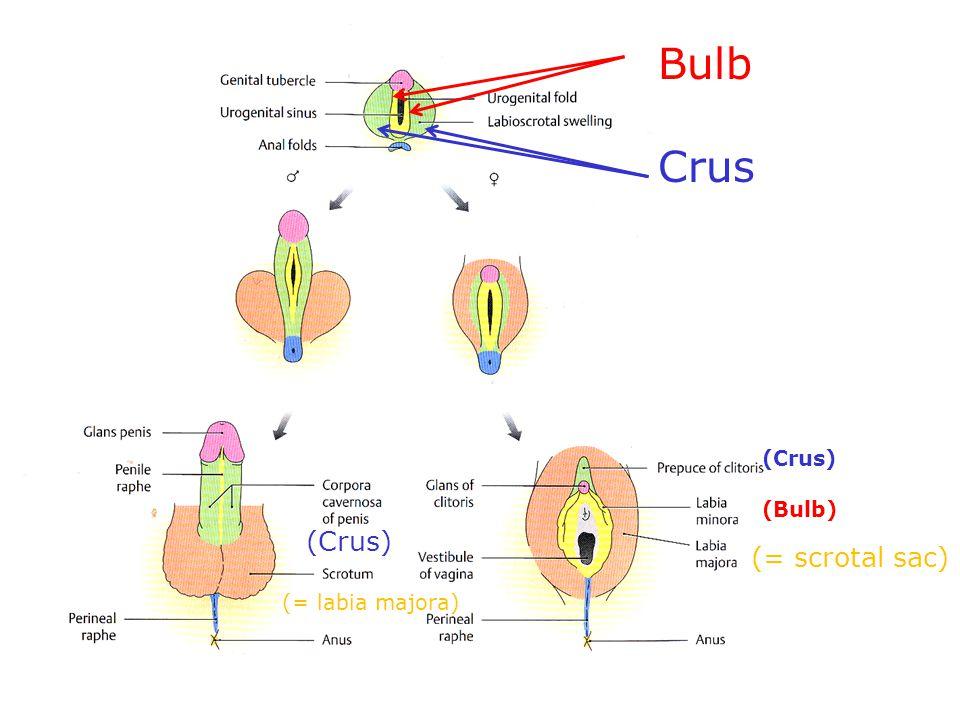 Bulb Crus (Crus) (Bulb) (= scrotal sac) (= labia majora)