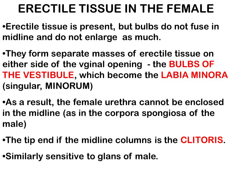 ERECTILE TISSUE IN THE FEMALE Erectile tissue is present, but bulbs do not fuse in midline and do not enlarge as much. They form separate masses of er