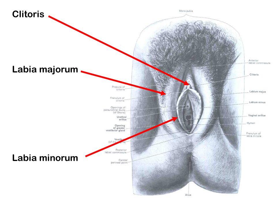 Clitoris Labia majorum Labia minorum