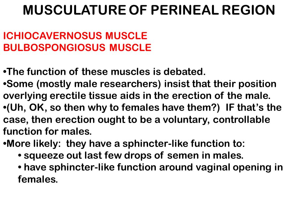 MUSCULATURE OF PERINEAL REGION ICHIOCAVERNOSUS MUSCLE BULBOSPONGIOSUS MUSCLE The function of these muscles is debated. Some (mostly male researchers)