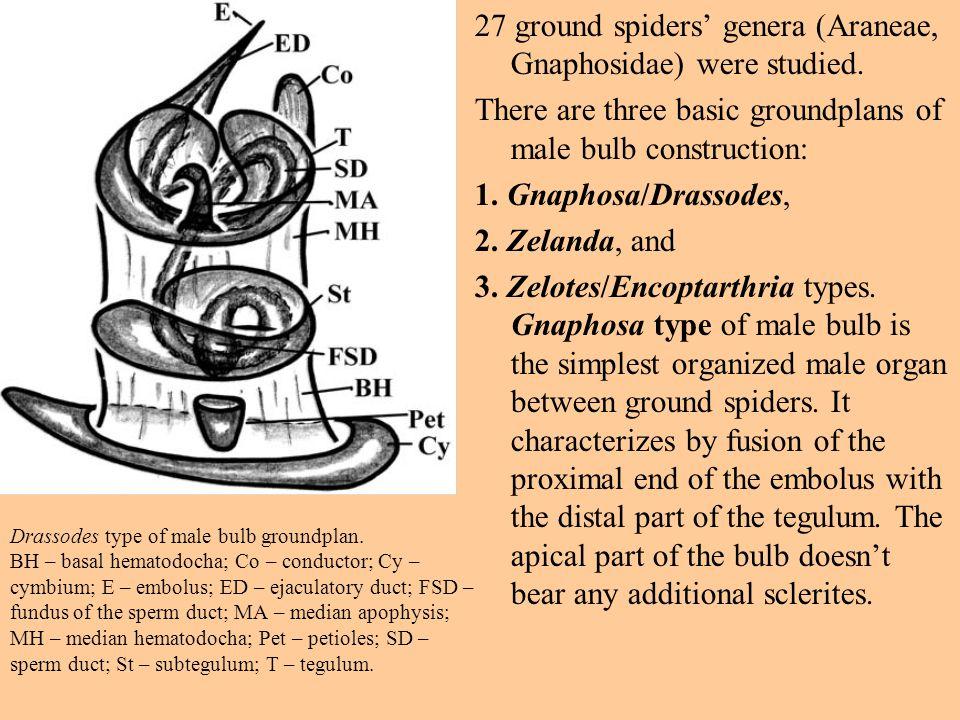 Drassodes type of male bulb groundplan.