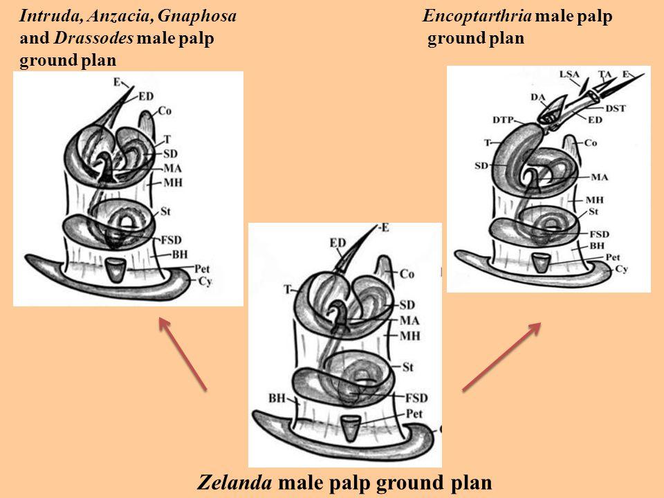 Intruda, Anzacia, Gnaphosa and Drassodes male palp ground plan Zelanda male palp ground plan Encoptarthria male palp ground plan