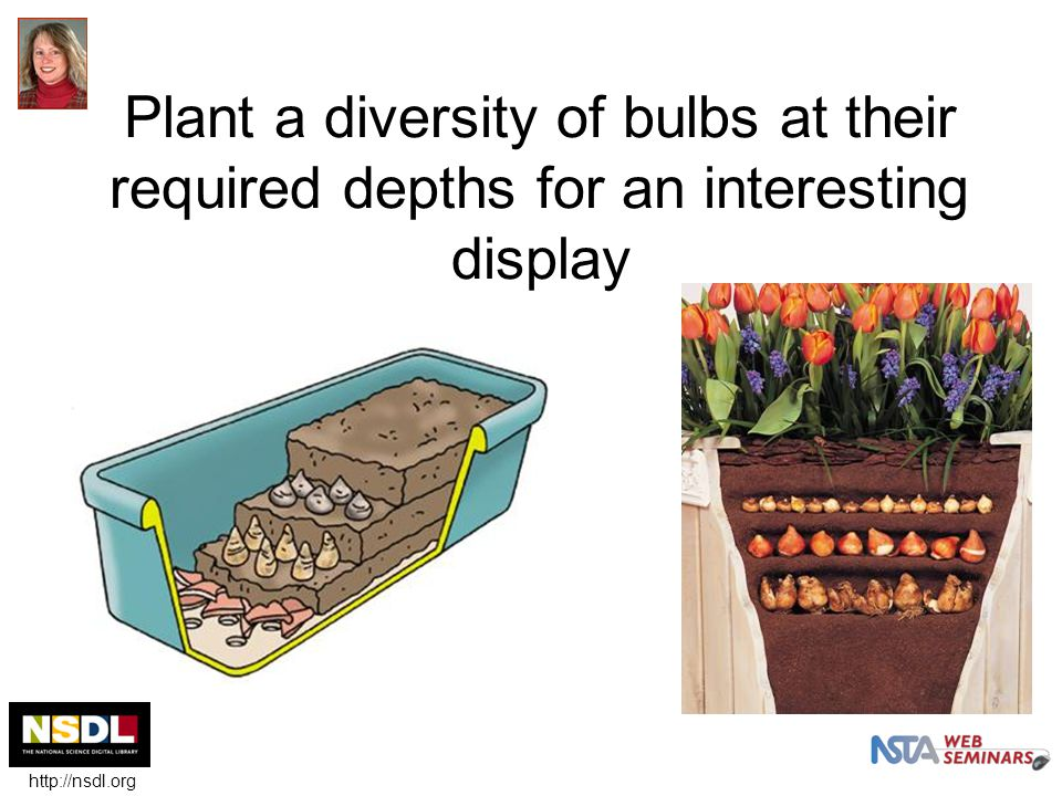 Plant a diversity of bulbs at their required depths for an interesting display http://nsdl.org