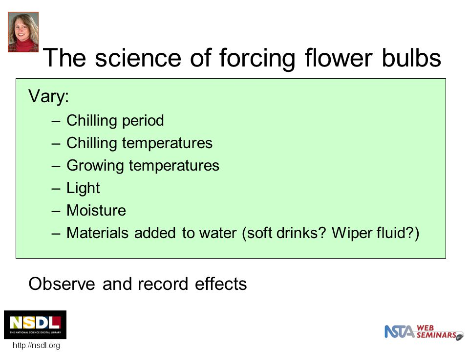 The science of forcing flower bulbs Vary: –Chilling period –Chilling temperatures –Growing temperatures –Light –Moisture –Materials added to water (soft drinks.