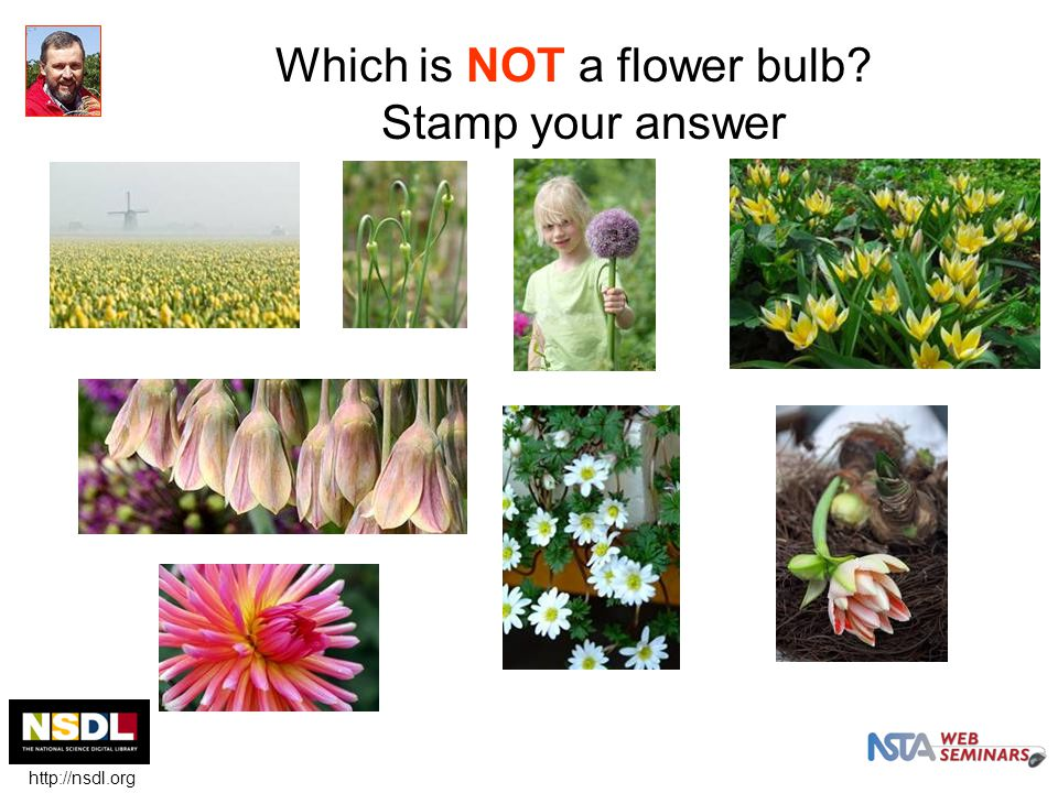 Which is NOT a flower bulb.