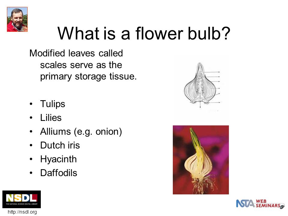 What is a flower bulb. Modified leaves called scales serve as the primary storage tissue.