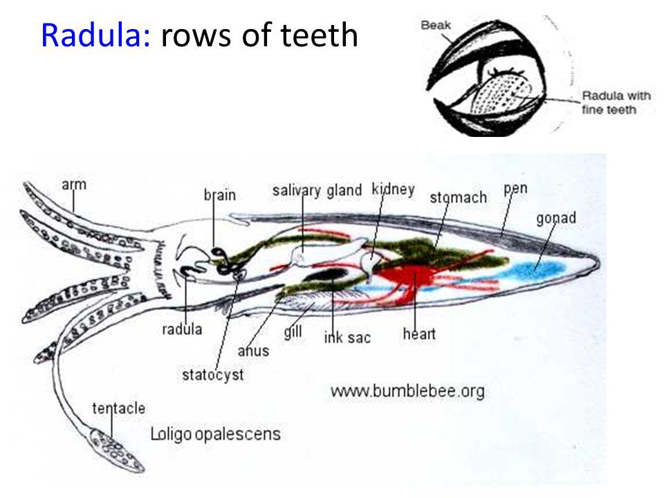 Radula: rows of teeth