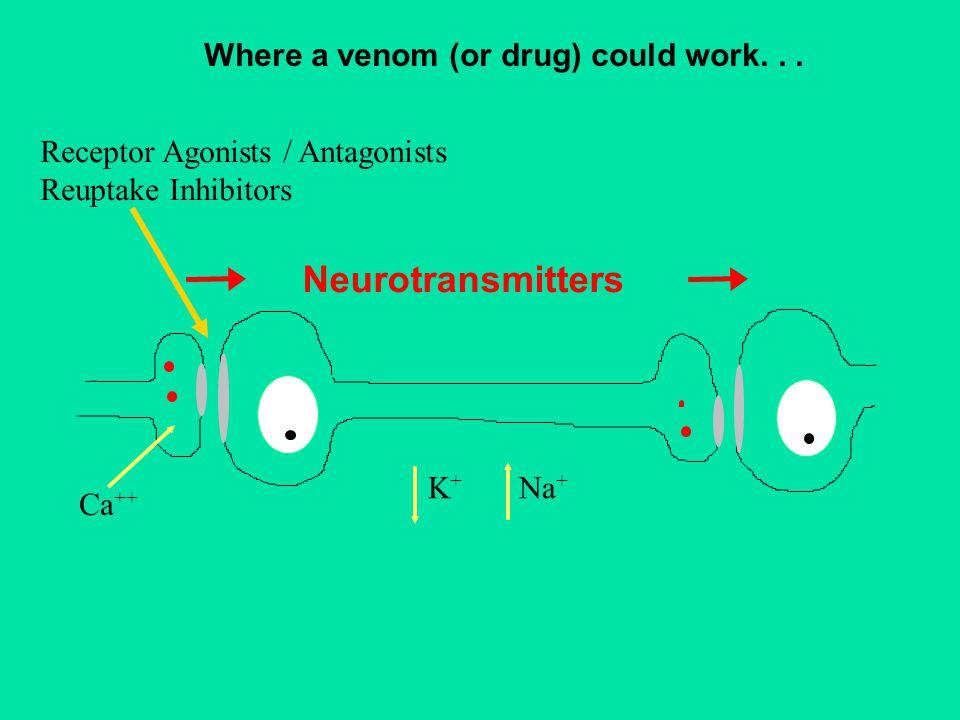 Neurotransmitters Ca ++ K+K+ Na + Where a venom (or drug) could work...
