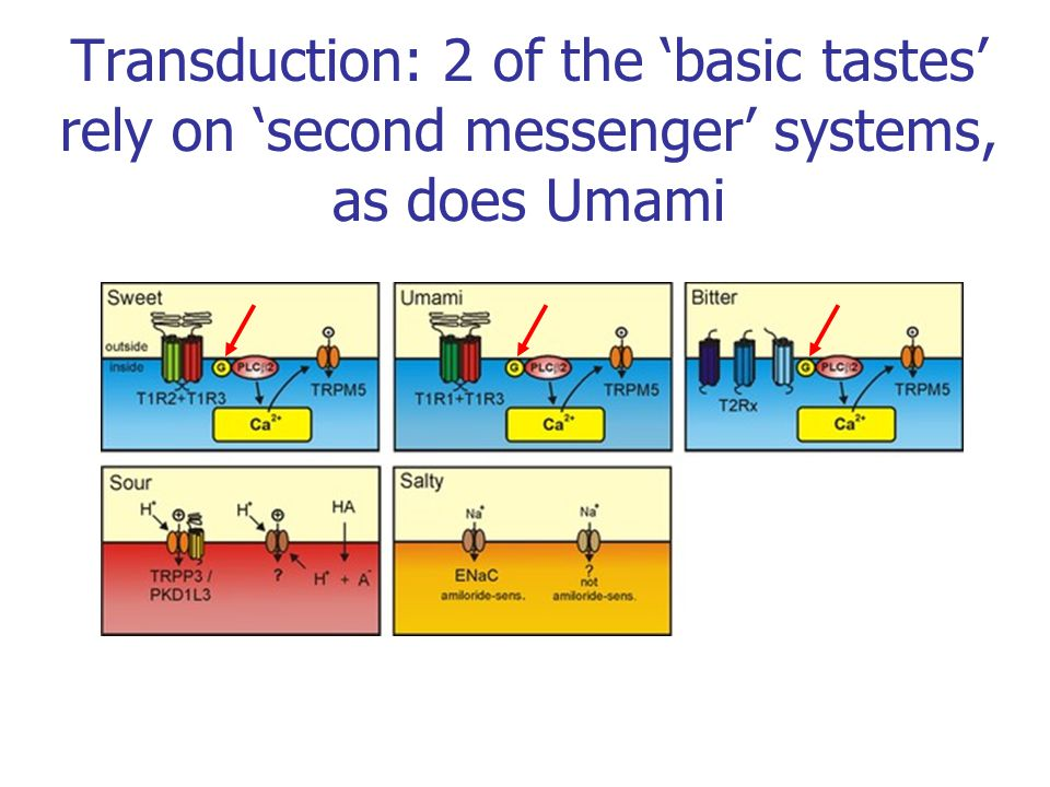 Transduction: 2 of the 'basic tastes' rely on 'second messenger' systems, as does Umami