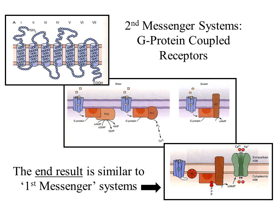 2 nd Messenger Systems: G-Protein Coupled Receptors The end result is similar to '1 st Messenger' systems