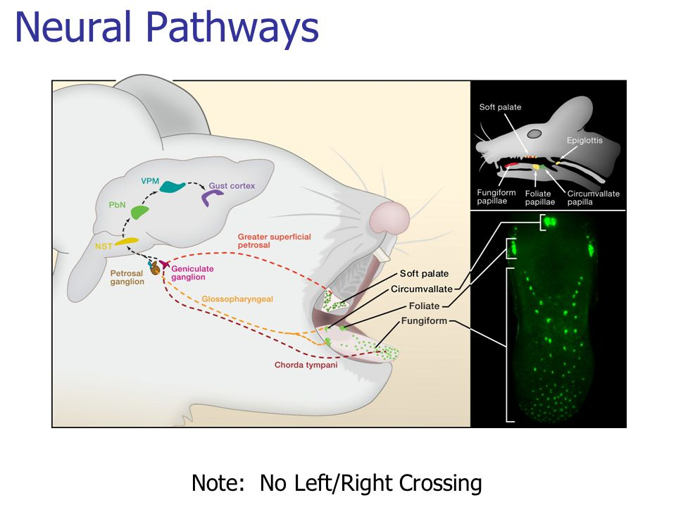 Neural Pathways Note: No Left/Right Crossing