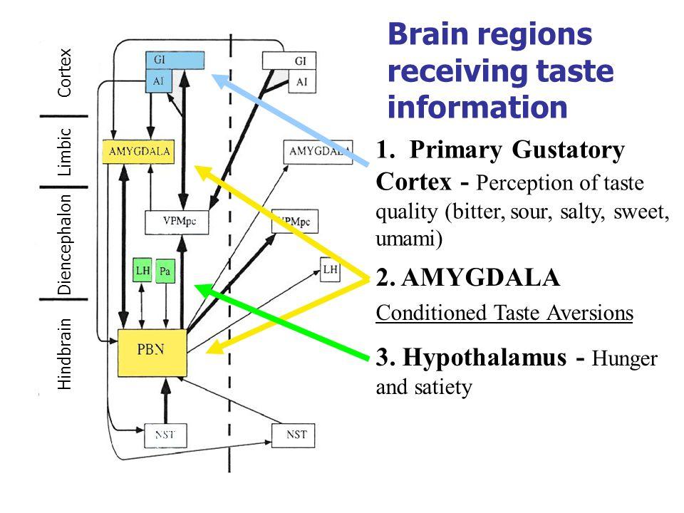 Brain regions receiving taste information 2. AMYGDALA Conditioned Taste Aversions 1.