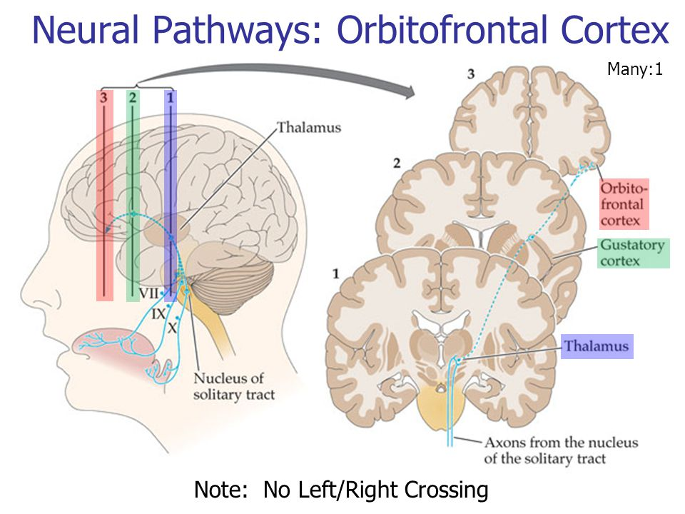Neural Pathways: Orbitofrontal Cortex Note: No Left/Right Crossing Many:1
