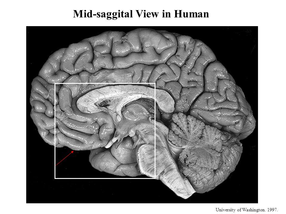 University of Washington. 1997. Mid-saggital View in Human