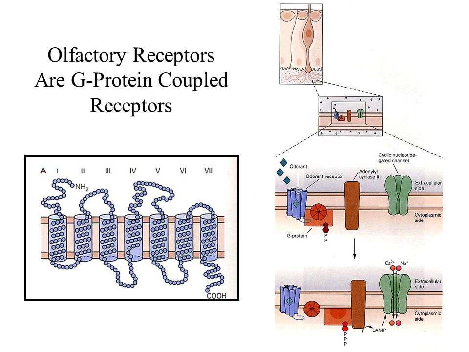 Olfactory Receptors Are G-Protein Coupled Receptors