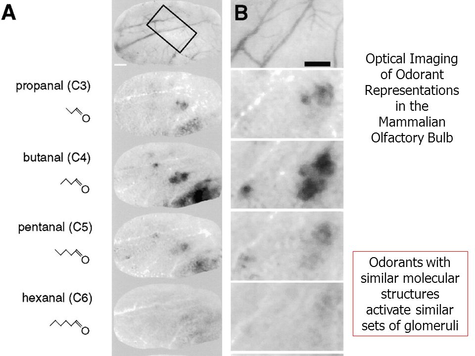 Optical Imaging of Odorant Representations in the Mammalian Olfactory Bulb Odorants with similar molecular structures activate similar sets of glomeruli