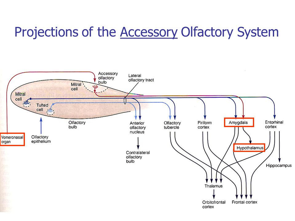 Projections of the Accessory Olfactory System