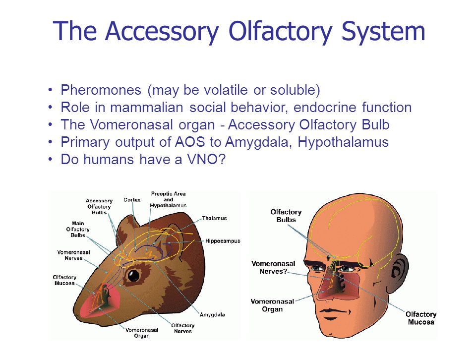 The Accessory Olfactory System Pheromones (may be volatile or soluble) Role in mammalian social behavior, endocrine function The Vomeronasal organ - Accessory Olfactory Bulb Primary output of AOS to Amygdala, Hypothalamus Do humans have a VNO