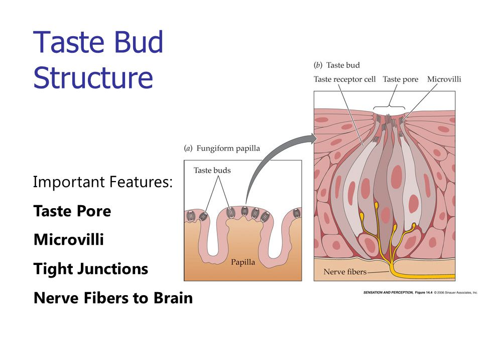 Taste Bud Structure Important Features: Taste Pore Microvilli Tight Junctions Nerve Fibers to Brain