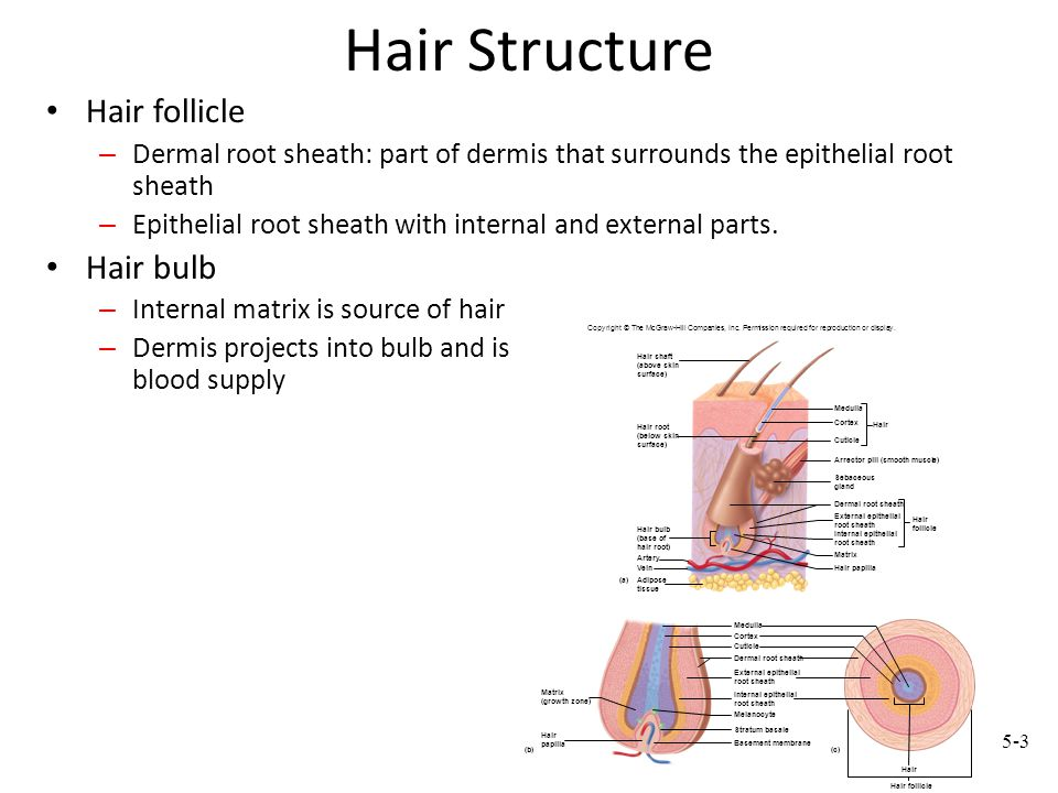 Hair Structure Hair follicle – Dermal root sheath: part of dermis that surrounds the epithelial root sheath – Epithelial root sheath with internal and