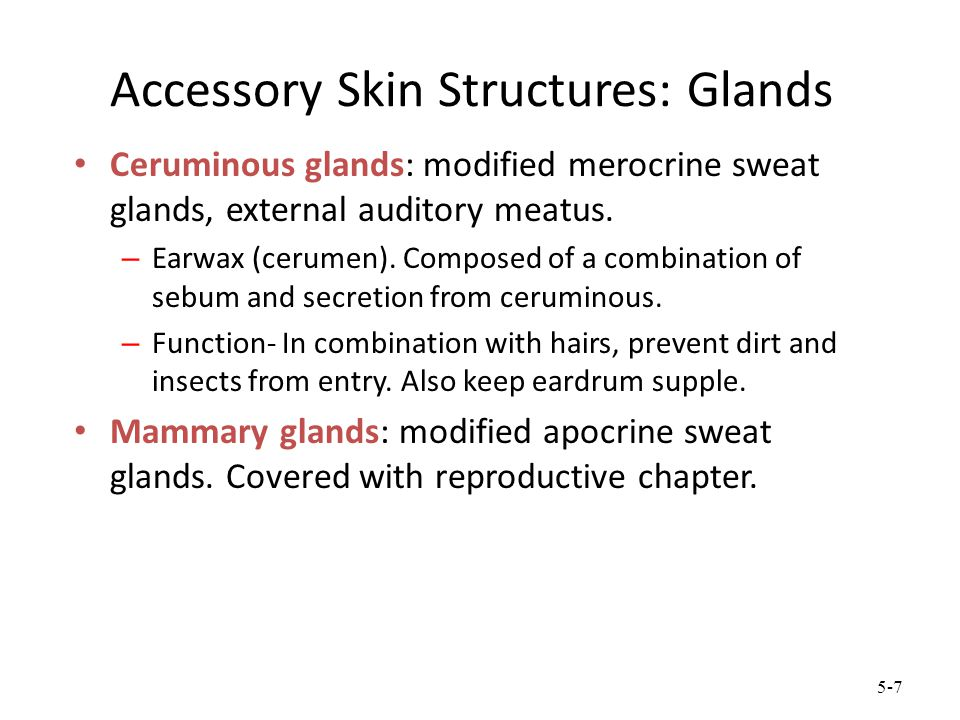 5-7 Accessory Skin Structures: Glands Ceruminous glands: modified merocrine sweat glands, external auditory meatus. – Earwax (cerumen). Composed of a