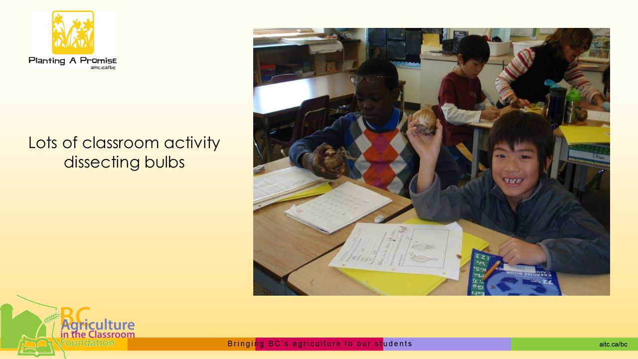 Lots of classroom activity dissecting bulbs