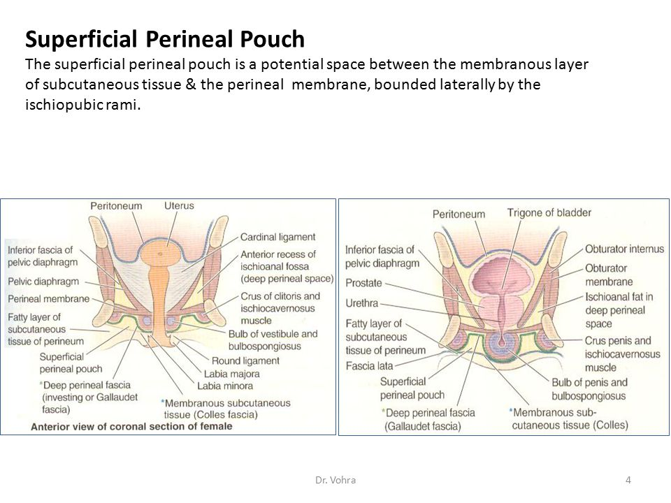 Contents of the Deep Perineal Pouch in the Female The deep perineal pouch contains Part of the urethra Part of the vagina Sphincter urethrae, pierced by the urethra and the vagina Deep transverse perineal muscles Internal pudendal vessels and their branches Dorsal nerves of the clitoris Erection of the Clitoris Sexual excitement produces engorgement of the erectile tissue within the clitoris in exactly the same manner as in the male 25Dr.