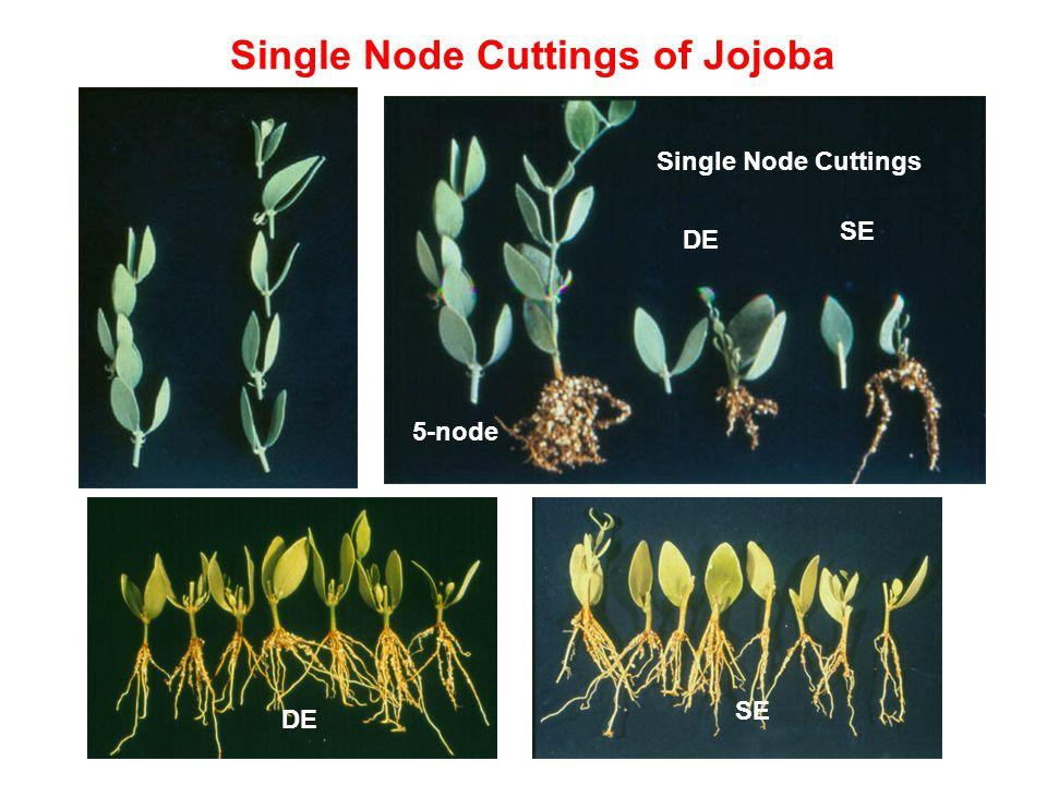 Single Node Cuttings of Jojoba 5-node Single Node Cuttings DE SE DE SE