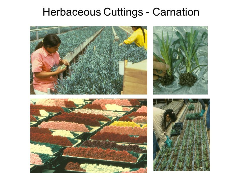 Herbaceous Cuttings - Carnation