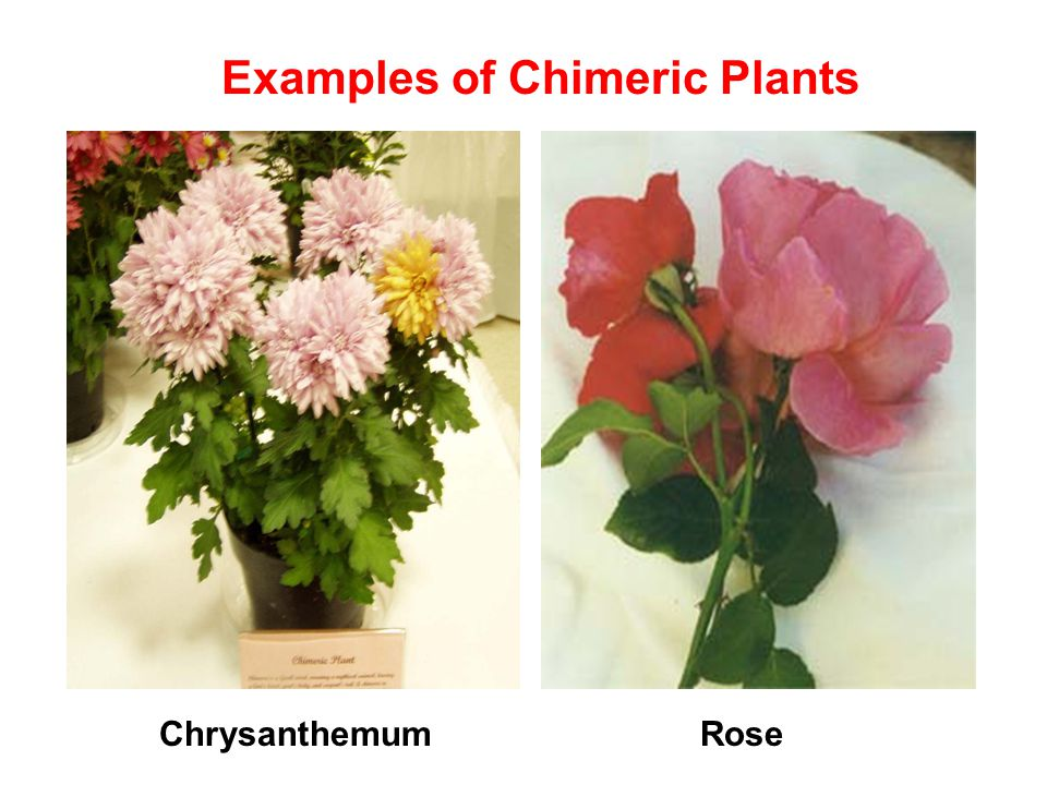 Examples of Chimeric Plants ChrysanthemumRose