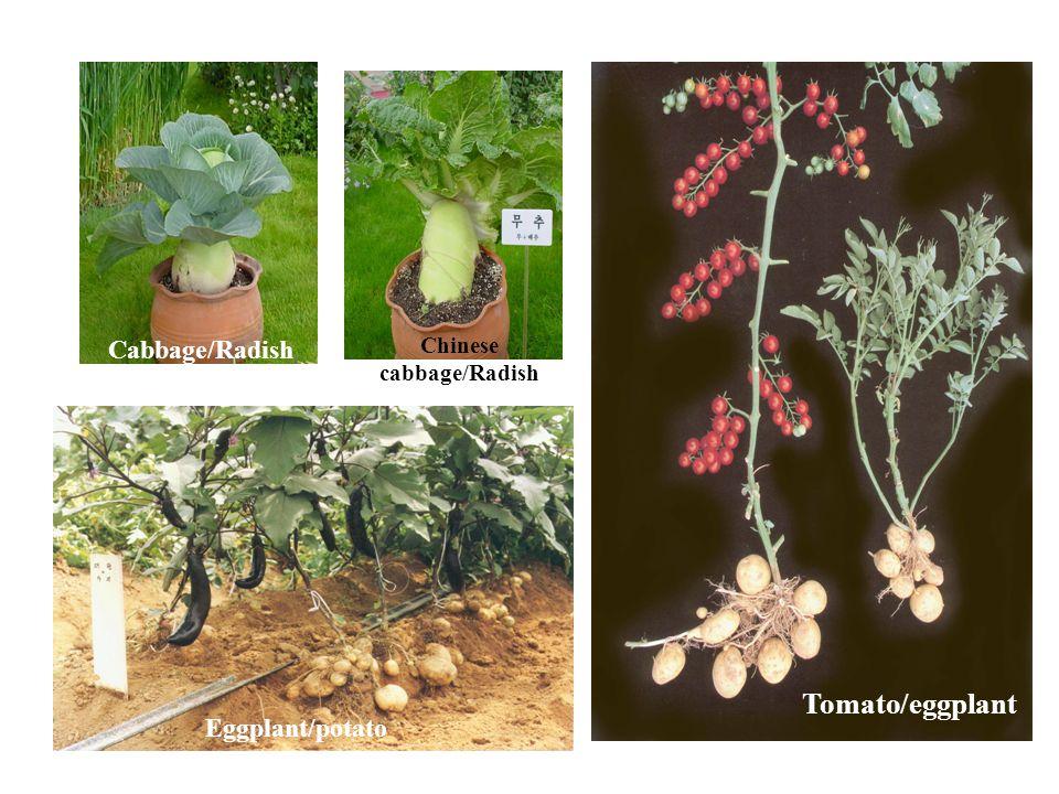 Eggplant/potato Tomato/eggplant Cabbage/Radish Chinese cabbage/Radish