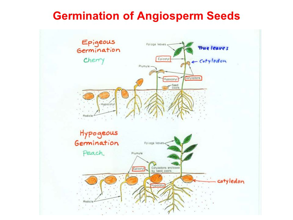 Germination of Angiosperm Seeds
