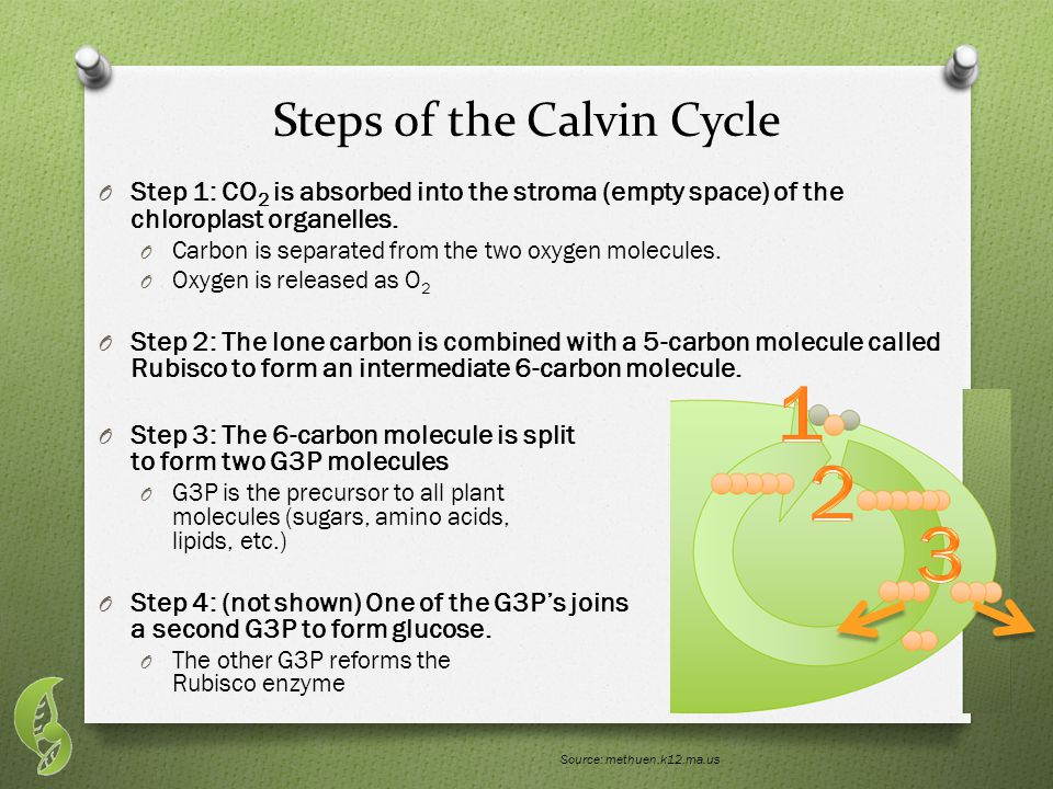 Steps of the Calvin Cycle O Step 1: CO 2 is absorbed into the stroma (empty space) of the chloroplast organelles.