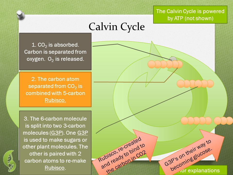 The Calvin Cycle is powered by ATP (not shown) Calvin Cycle 1.