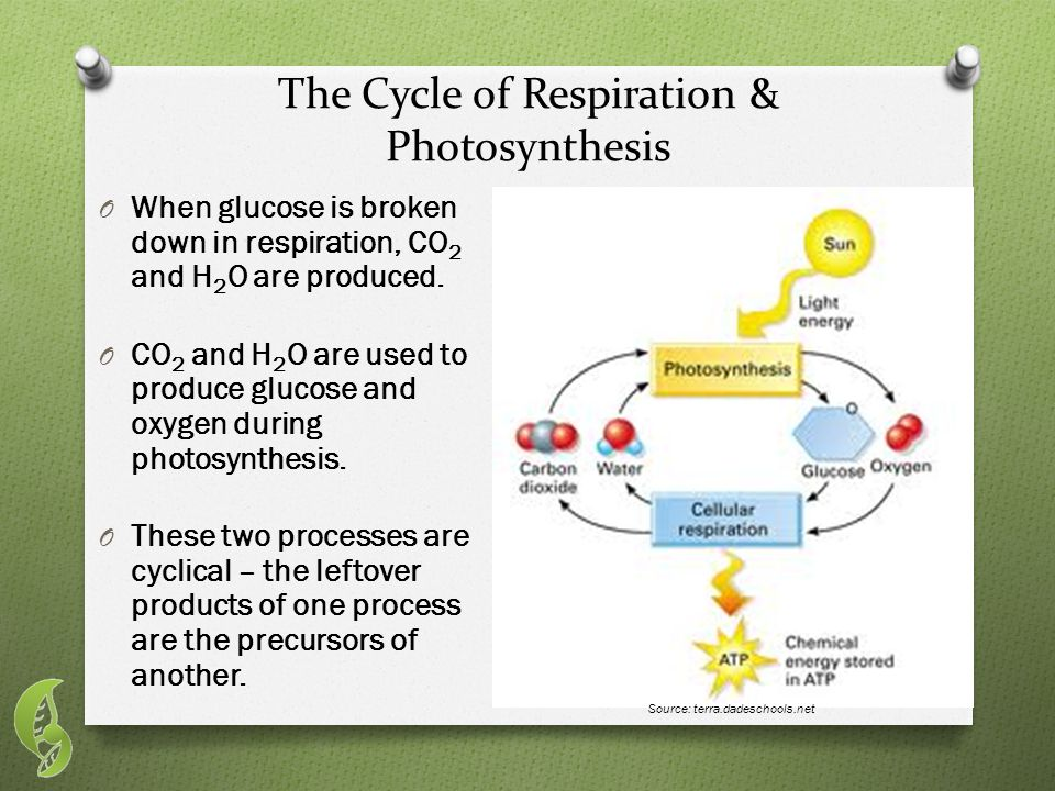 The Cycle of Respiration & Photosynthesis O When glucose is broken down in respiration, CO 2 and H 2 O are produced.