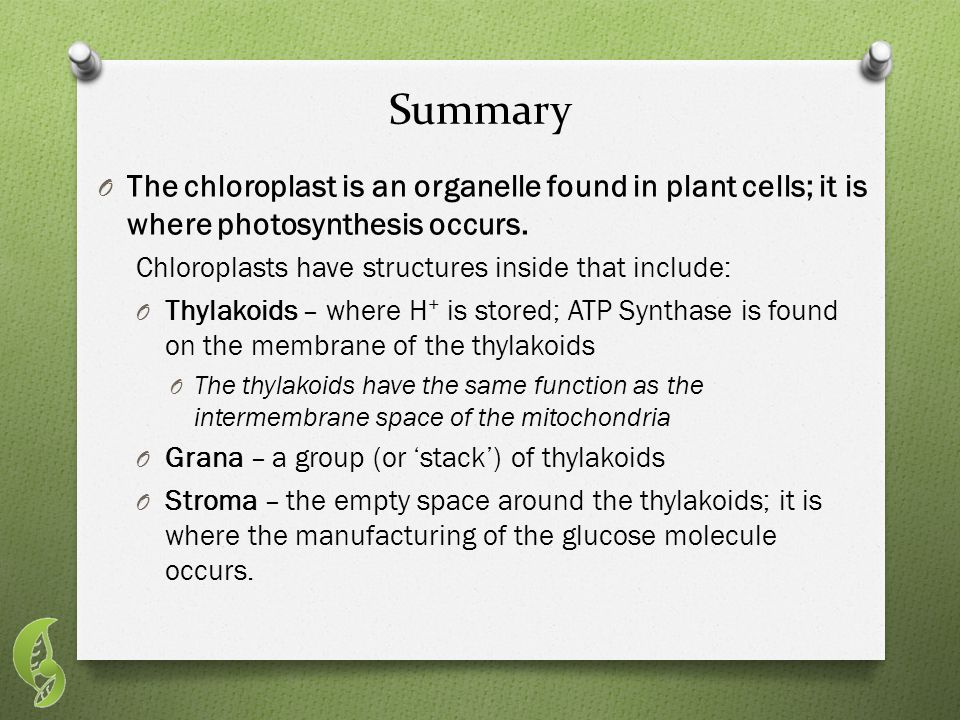 Summary O The chloroplast is an organelle found in plant cells; it is where photosynthesis occurs.