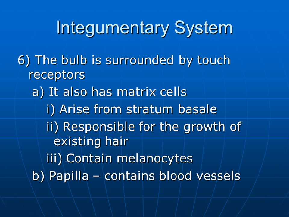 Integumentary System 6) The bulb is surrounded by touch receptors a) It also has matrix cells i) Arise from stratum basale ii) Responsible for the growth of existing hair iii) Contain melanocytes b) Papilla – contains blood vessels