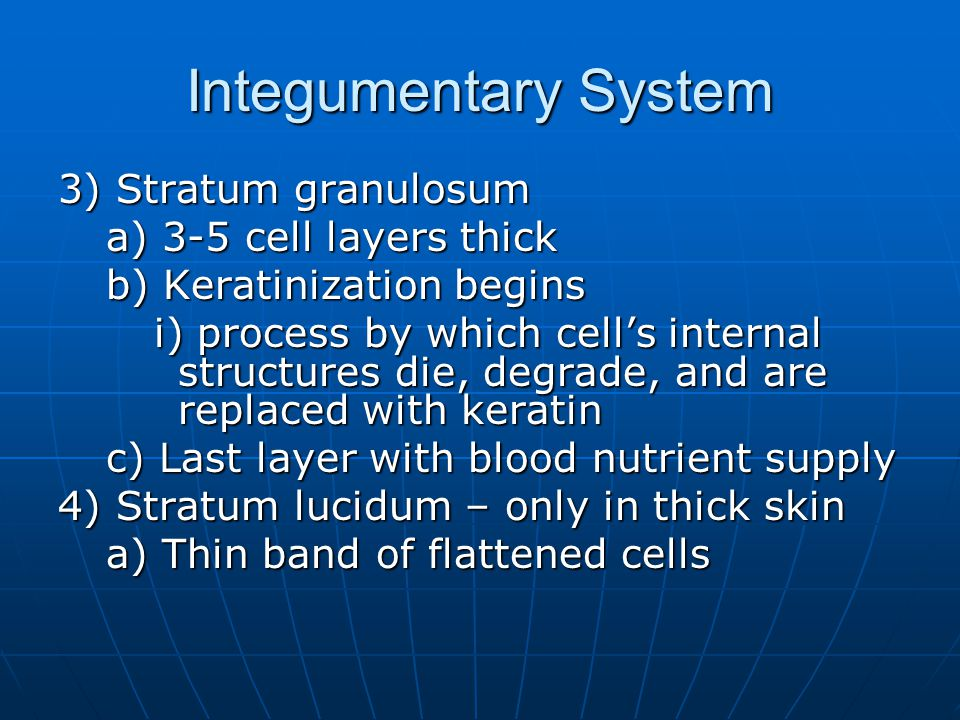 Integumentary System 3) Stratum granulosum a) 3-5 cell layers thick b) Keratinization begins i) process by which cell's internal structures die, degrade, and are replaced with keratin c) Last layer with blood nutrient supply 4) Stratum lucidum – only in thick skin a) Thin band of flattened cells