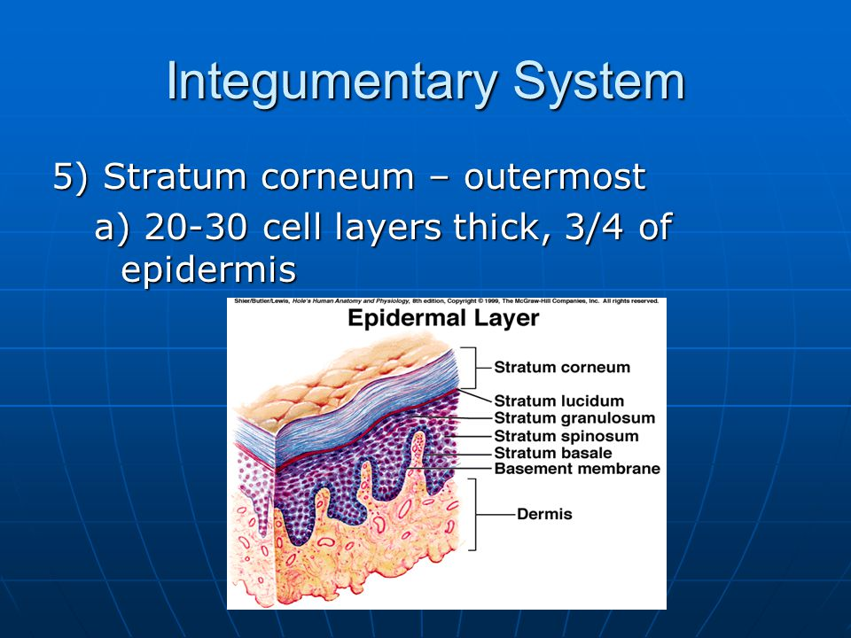 Integumentary System 5) Stratum corneum – outermost a) 20-30 cell layers thick, 3/4 of epidermis