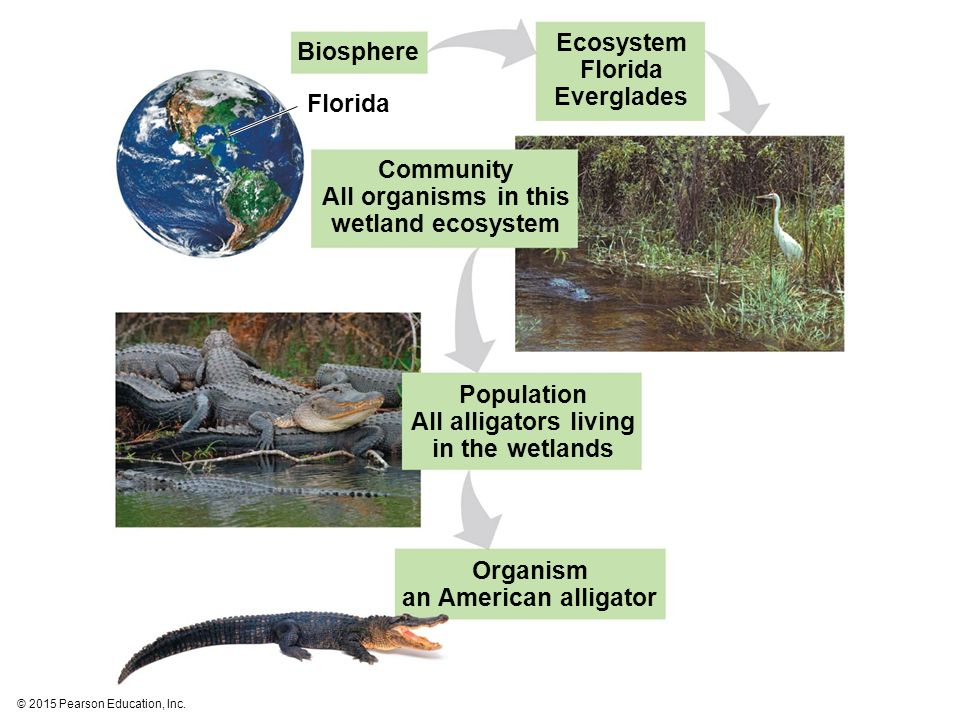 Biosphere Florida Ecosystem Florida Everglades Community All organisms in this wetland ecosystem Population All alligators living in the wetlands Orga