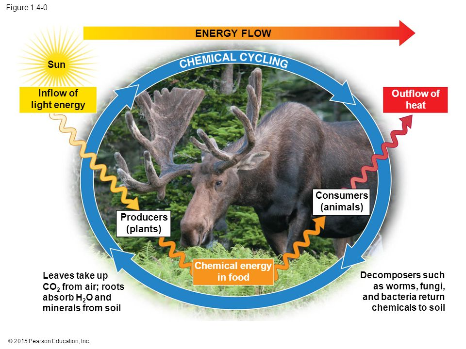 © 2015 Pearson Education, Inc. Figure 1.4-0 ENERGY FLOW Sun Inflow of light energy Producers (plants) Chemical energy in food Consumers (animals) Outf
