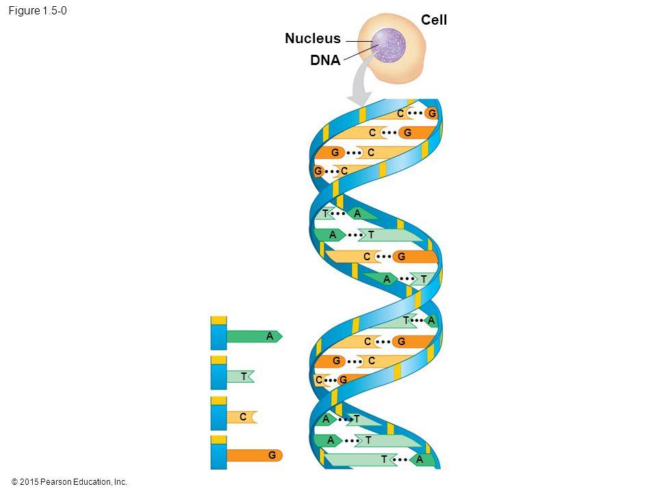 Figure 1.5-0 Nucleus DNA Cell CG CG CG CG CG CG CG CG C G AT AT AT AT AT AT AT A T