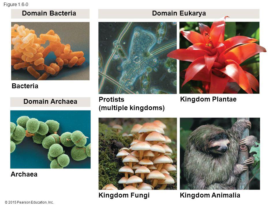 Figure 1.6-0 Domain Bacteria Domain Eukarya Bacteria Domain Archaea Protists (multiple kingdoms) Kingdom Plantae Archaea Kingdom Fungi Kingdom Animalia