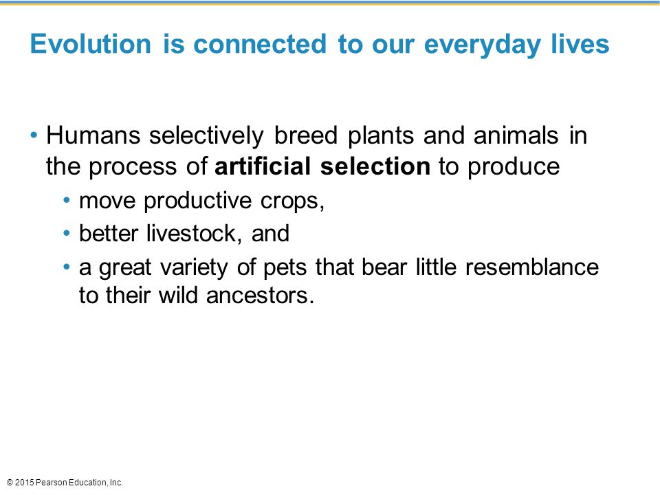 Evolution is connected to our everyday lives Humans selectively breed plants and animals in the process of artificial selection to produce move produc