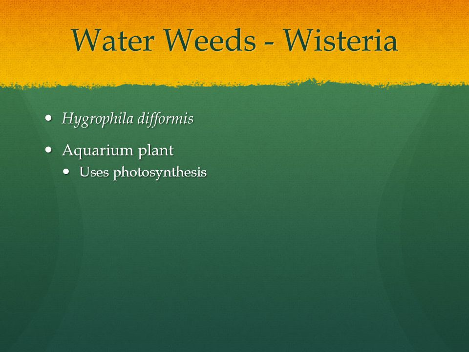 Water Weeds - Wisteria Hygrophila difformis Hygrophila difformis Aquarium plant Aquarium plant Uses photosynthesis Uses photosynthesis