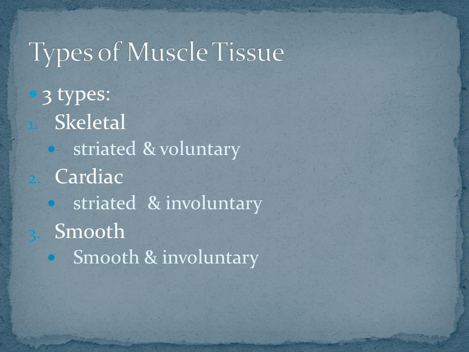 3 types: 1. Skeletal striated & voluntary 2. Cardiac striated & involuntary 3.